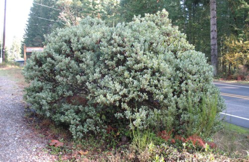 Interesting plants of the olympic peninsula washington has four native species of arctostaphylos but to my knowledge only two are found on the olympic peninsula this is a columbiana publicscrutiny Image collections
