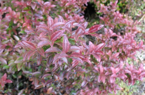 Ornamental Evergreen Shrubs Native Pictures